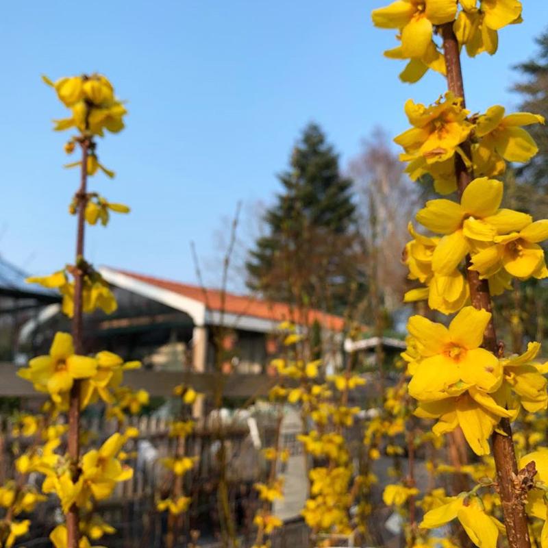 forsythia busk vårguld