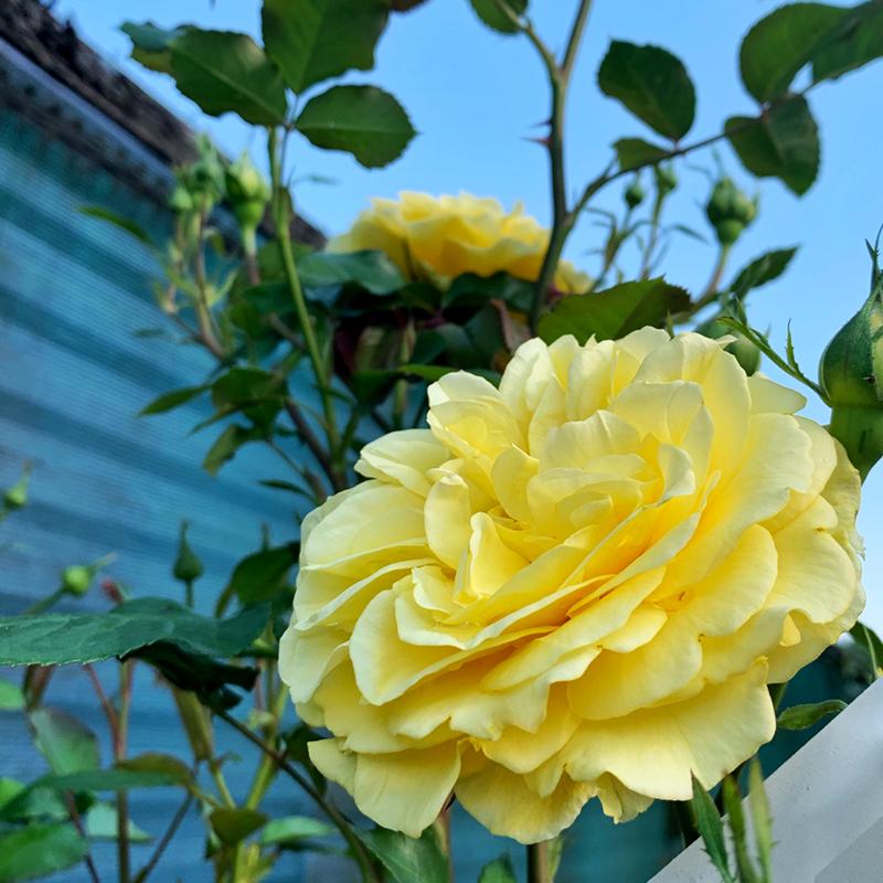roser rose